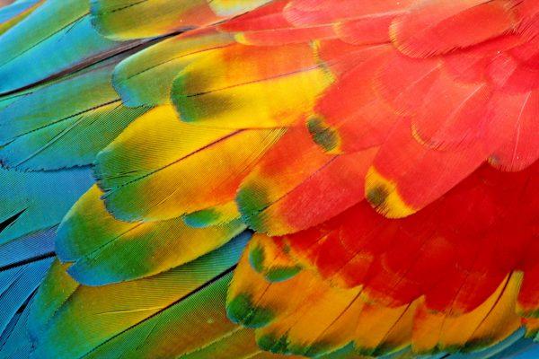 Viva a festa de cores que são as aves brasileiras. Arara vermelha. Foto por Edson Varga Lopes