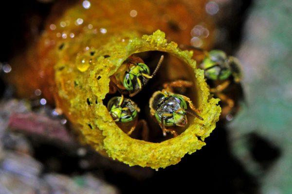 O trabalho em equipe realizado pelas abelhas sociais, além de contribuir de forma fundamental para a perpetuação das plantas, produz o mel tão apreciado por muitos animais, incluindo os humanos.Entrada de um ninho de jataí Nome científico: Tetragonisca angustulaFoto por Edson Varga Lopes