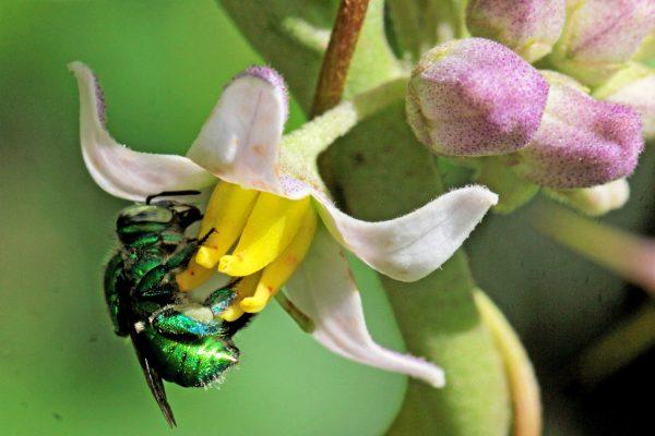 É difícil dimensionar a relação de interdependência entre os organismos em um ecossistema. As abelhas solitárias são organismos fundamentais nos ambientes em que habitam. Infelizmente, elas estão entre os organismos mais afetados negativamente pelas ações antrópicas e muitas espécies de abelhas estão desaparecendo no planeta.Fêmea de Euglossa coletando pólen em uma flor de SolanumFoto por Edson Varga Lopes
